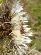Side view of the flower silver thistle