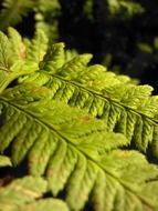 closeup of light green fern leaves