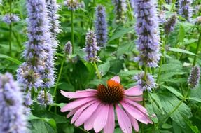 echinacea and sun hat flowers on meadow