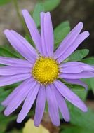 Purple camomile close-up