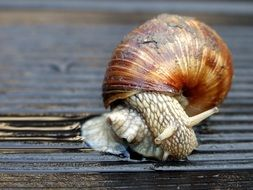 crawling snail close up