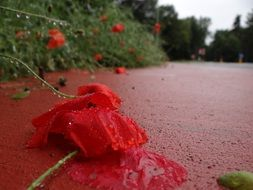 red poppy lies on an asphalt road