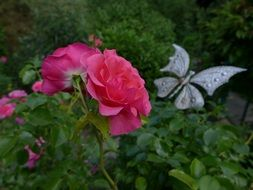 pink rose summer flower with butterfly closeup