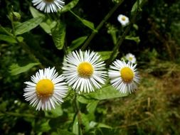 three daisies with pointed petals close-up