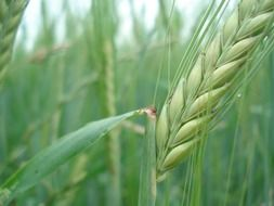 unripe wheat spike