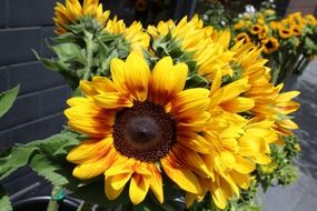 ornamenal sunflowers for sale
