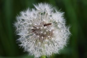 dandelion faded insect fly