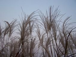 river reed plants