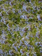 bloom of the blue comfrey