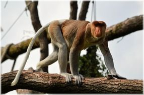 climbing long-nosed monkey