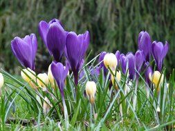 side view of a multi-colored crocuses in the grass