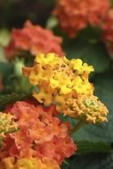 yellow-orange blooming lantana