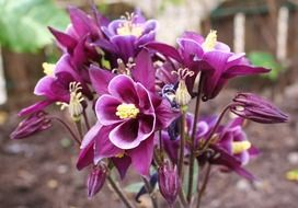 purple beautiful aquilegia in garden closeup