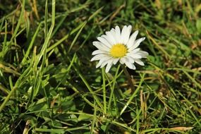 daisy meadow flower plant white
