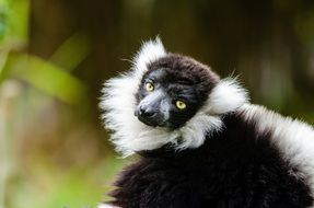 exotic black and white ruffed lemur