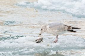 Seagull feeding fish on frozen water