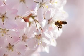 bee over a lush pink inflorescence