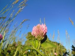 red clover flower on a plant