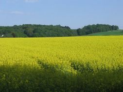 blooming oilseed field at forest