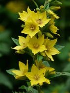 macro photo of yellow dotted loosestrife flower