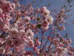 pink flowers on the branches of decorative cherry