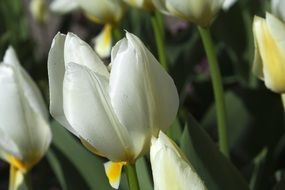 lovely white tulip flower