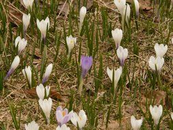 terrific spring alpine crocus