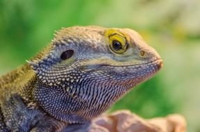 bearded dragon lizard closeup