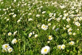 white daisies blooming on meadow