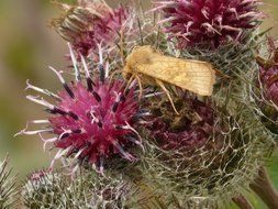 butterfly on a flower of burdock close-up