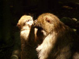 monkey with offspring in the glare of light and shadow