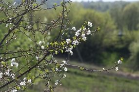 white flowers on an apple tree in spring