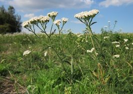 white yarrow flowers