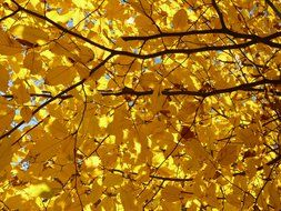 yellow hornbeam tree in autumn
