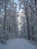 Snowy trees in wintry forest