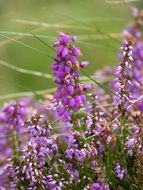 beautiful purple irish bell heather