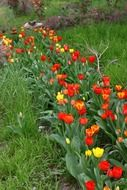 A lot of the tulips in spring