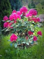 rhododendron flowers blossoming