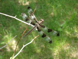 dragonfly in flight over green grass