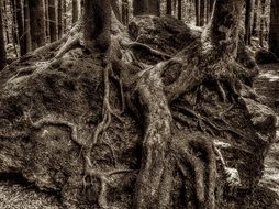 Black and white photo of tree roots in the forest