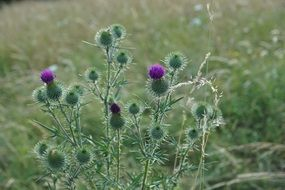Purple green thistle flower blooms