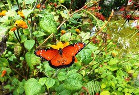 mexican butterfly on a green plant