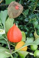 physalis alkekengi flower