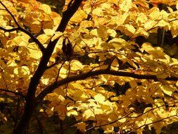 golden foliage on the European beech