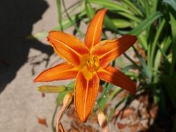 orange lily on a green bush in the garden