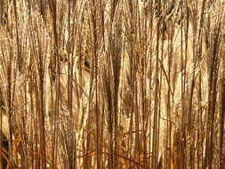 Miscanthus sinensis in the shimmering light