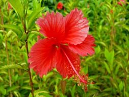 red dominican flower