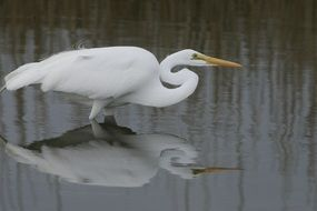 great egret bird wildlife