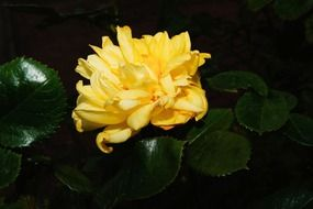 yellow rose flower on the bush