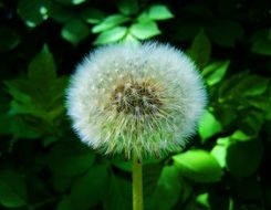 White dandelion flower with a lot of petals